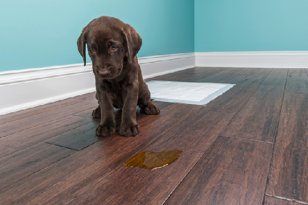 An embarrassed, shameful dog with pee accident on the floor.