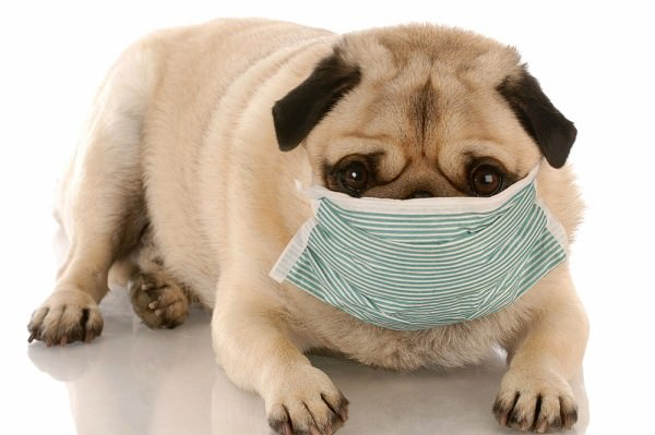A sick pug with a mask on.