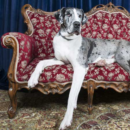 Great Dane relaxing on a couch.