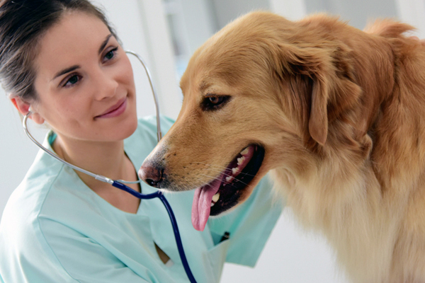 A vet examining a dog with a stethoscope.