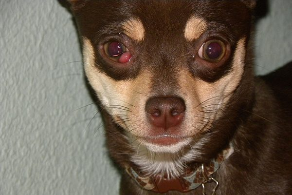 An example of cherry eye in dogs.