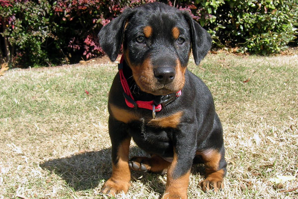 come see the cutest photos of doberman puppies