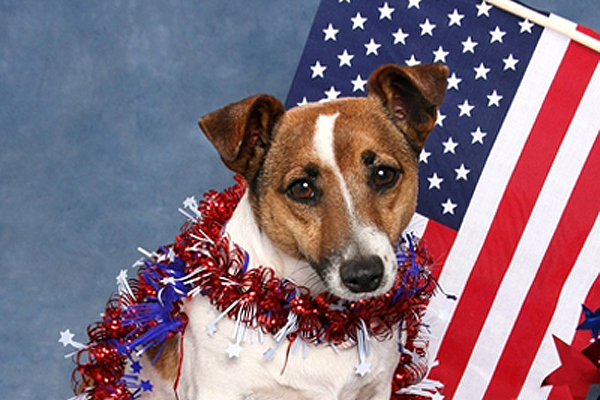 A small dog with an American flag.