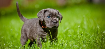 Take A Roman Holiday With These Cane Corso Puppy Pictures
