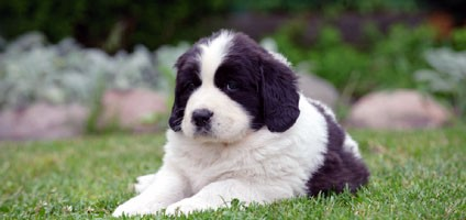 Supersize Your Fun With These Newfoundland Puppy Pictures