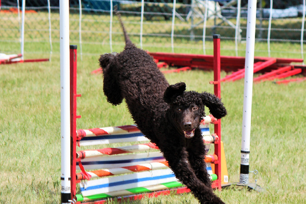 An Irish Water Spaniel.
