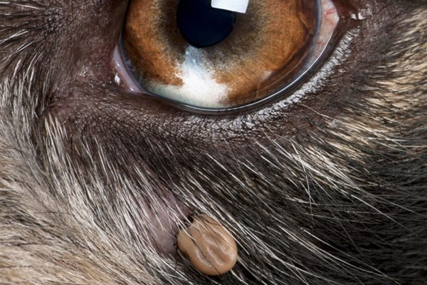 Close up of a tick near a dog's eye.