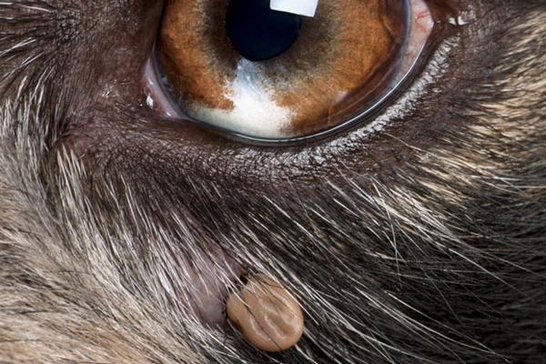 Close up of a tick near a dog's eye.