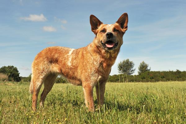Get to Know the Australian Cattle Dog: A Dingo Descendant ...