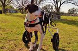 Reed the Pit Bull Is Missing a Leg But Leads a Complete Life