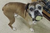 Leo the Puppy Mill Rescue Boxer Always Has His Mouth Full