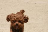 """Just in Case: We Find Some Dog Understudies for Chewbacca in the New """"Star Wars"""" Movies"""