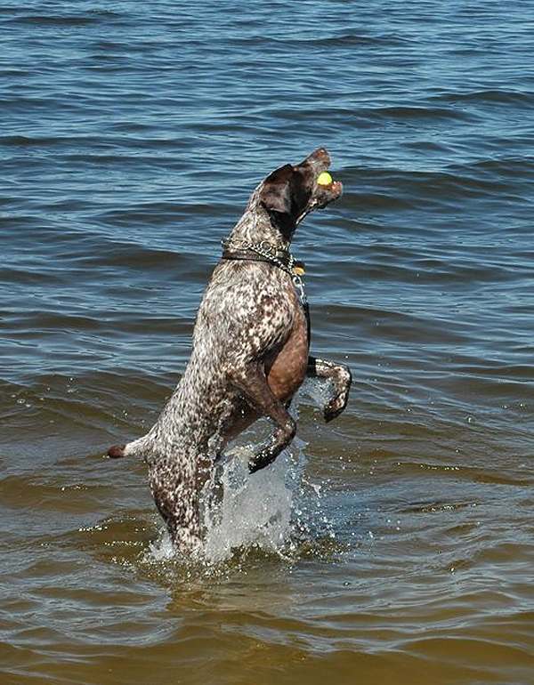 Get to Know the German Shorthaired Pointer: Making the Point on the ...