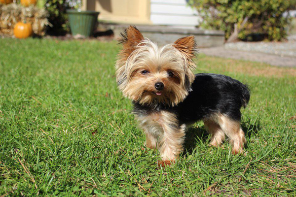 Cutest Dog In The World Guinness 2012 lucy, the world's smallest working dog, is a rescue sucess