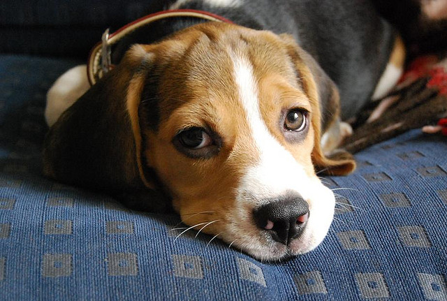 Get to Know the Beagle: Super Sniffer and Beguiling Buddy