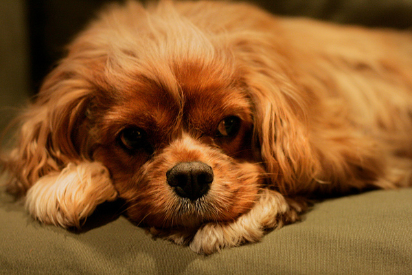 Get to know the cavalier king charles spaniel ruler of hearts photo by thecheapjerseys Images