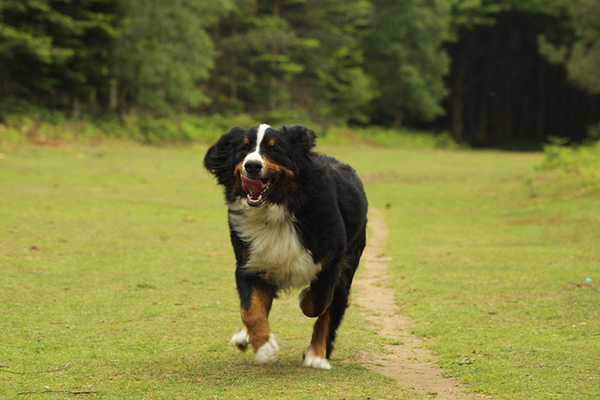 Get to Know the Bernese Mountain Dog: A Real Teddy Bear