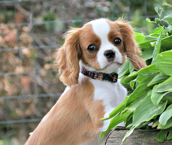 Get to Know the Cavalier King Charles Spaniel: Ruler of Hearts