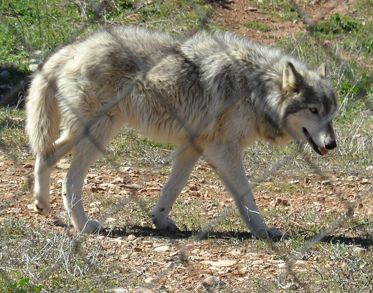 Is It Responsible To Breed Or Buy Wolf Dog Hybrids