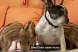 Baby the French Bulldog Adopts Six Orphaned Boar Piglets in Germany