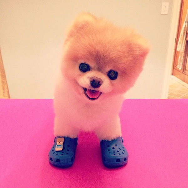 Who Can Get Crocs Some Respect? Boo the Pomeranian!
