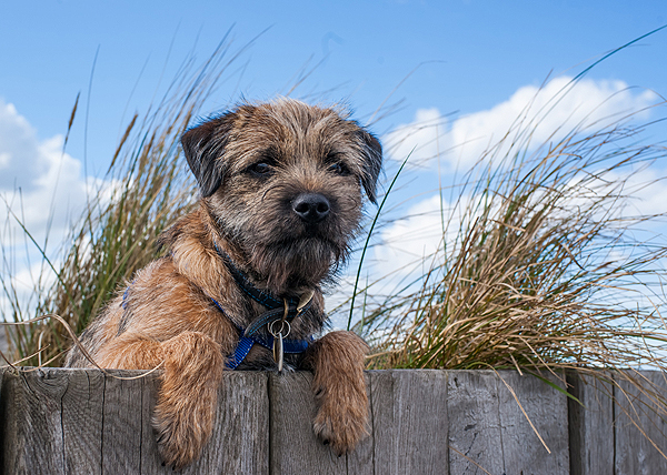 Get To Know The Border Terrier A Breed That S Borderline