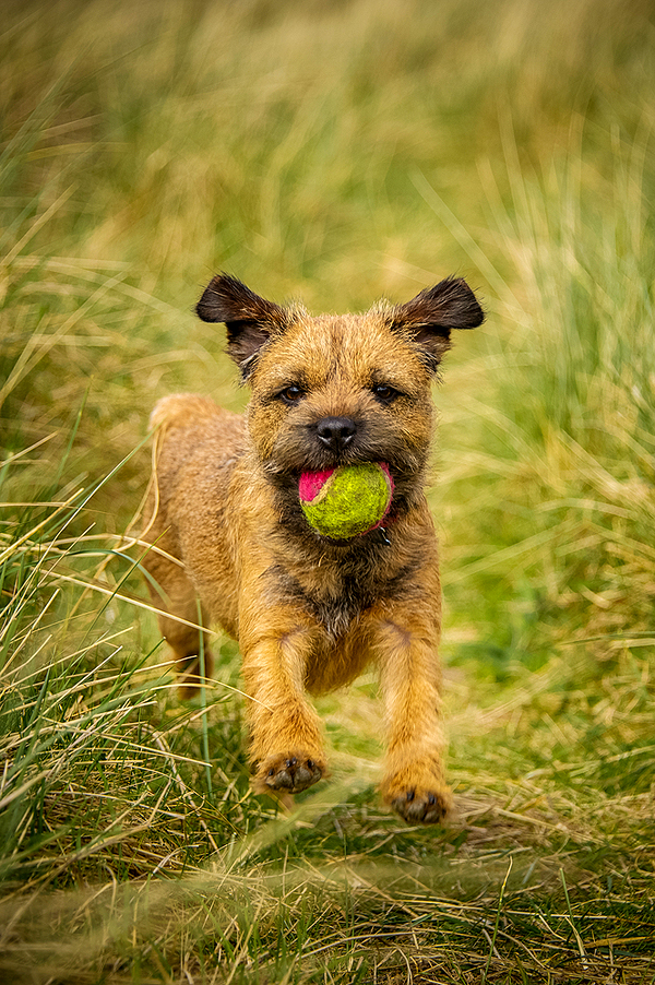 modern wire haired border terrier gallery