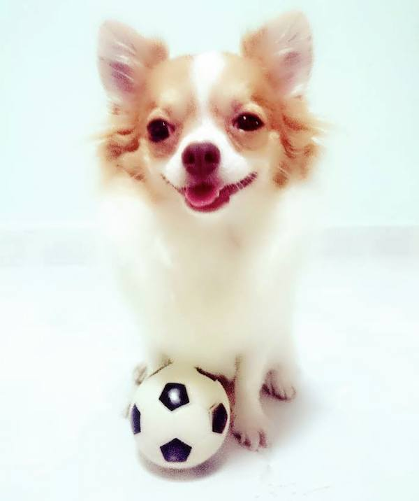 Bumbie the Chihuahua Is an Adorable Singapore Rescue Dog