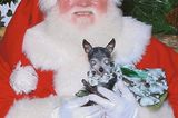 The 12 Dogs of Christmas: Chica-Chan the Blind Chihuahua