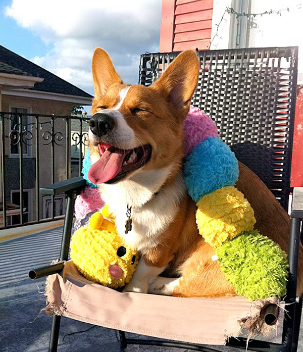 Vacuuming the Corbs: Watch Corbin the Corgi's Preferred Method of Furminating