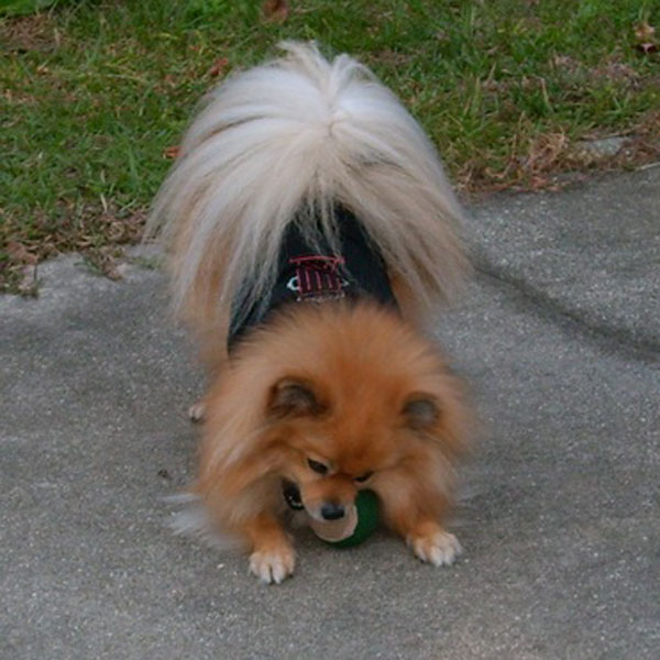 Get to Know the Pomeranian: The World's Cutest Puffball