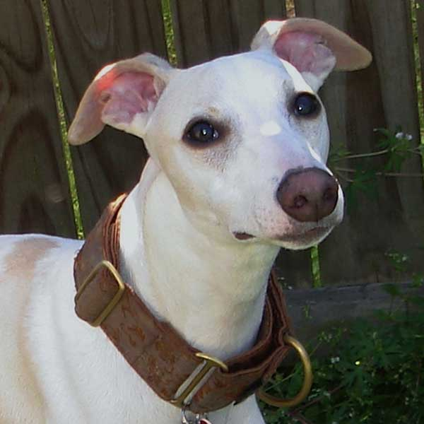 Get to Know the Whippet: Whippet Good!