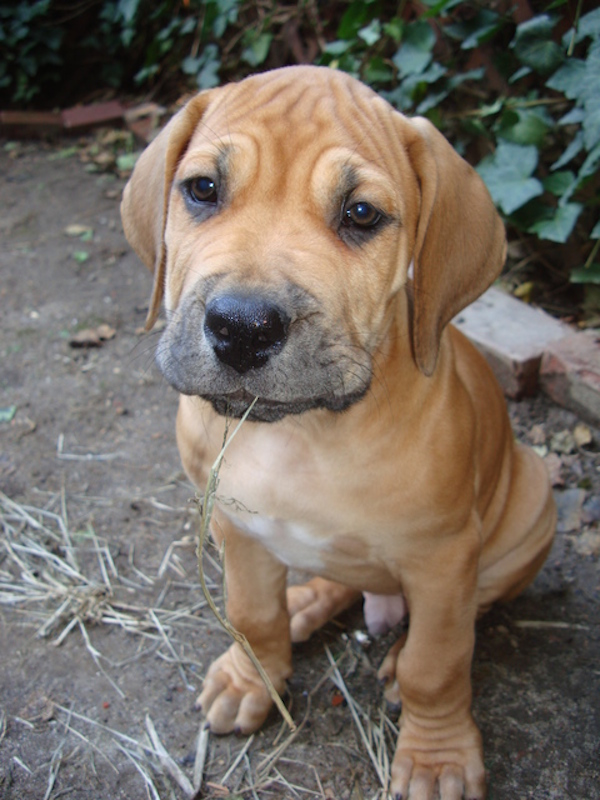 Get to Know the Boerboel: A South African Pioneer