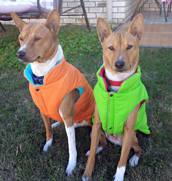 A Basenji Dog Get to Know the...