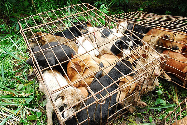 Soi Dog Foundation Calls on Celebrities to Help End Dog Meat Trade