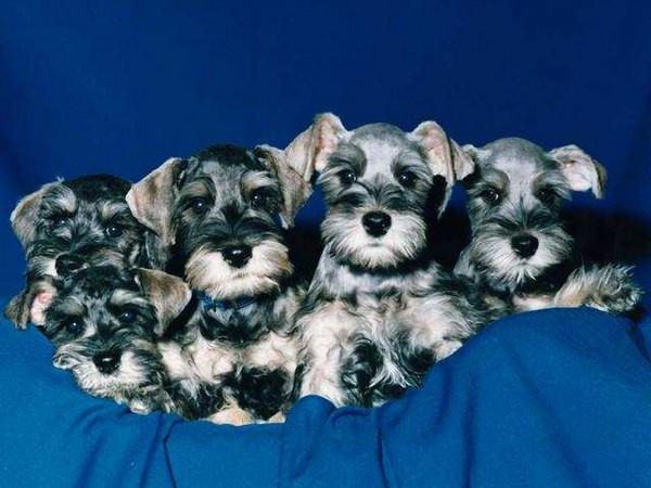 Amish Puppy Breeders
