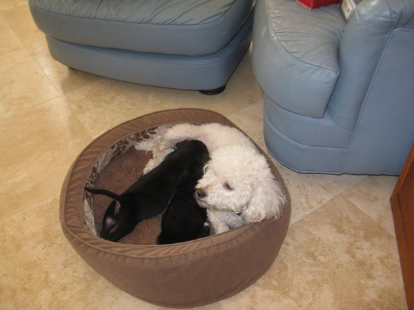 A Poodle Named Dream Adopts an Aussie Puppy in Need