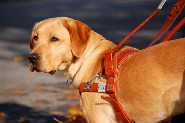guide dogs for the blind puppy training | Official