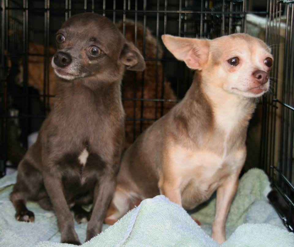 Harley the Chihuahua Helps Puppy Mill Dogs