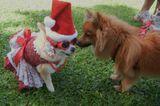Meet Hokulani the Pomeranian, a Pup Who Just Adores Christmas