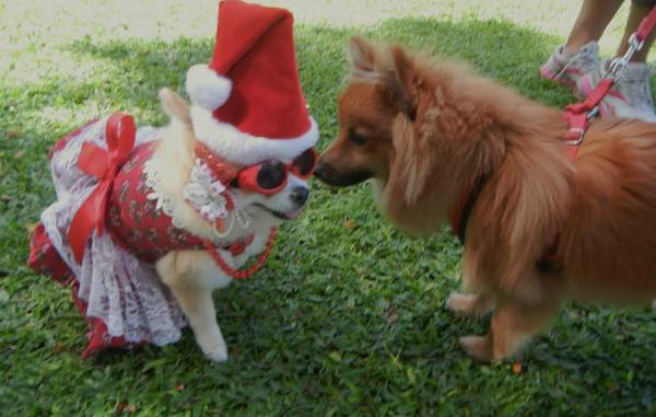 Meet Hokulani the Pomeranian, a Pup Who Just Adores Christmas