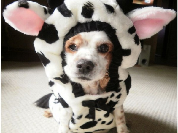 how to win a dog halloween costume contest - Pet Halloween Photo Contest
