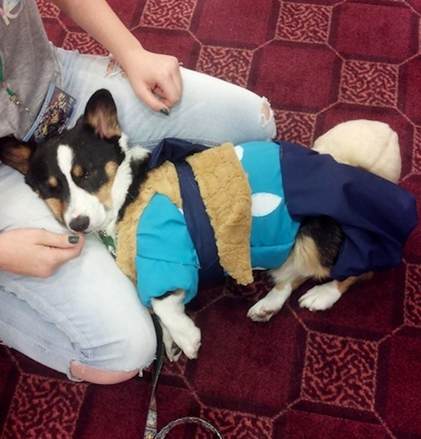 Kiba the Corgi Does Cosplay Better Than You