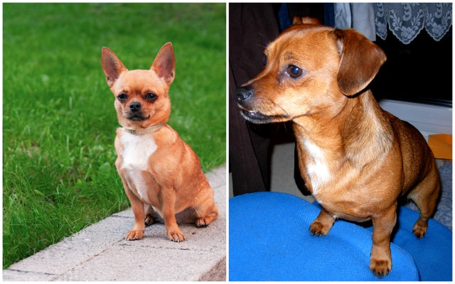 Why Does Everyone Think My Small Dog Is a Chihuahua?