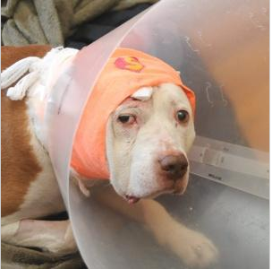 Heroic Old Pit Bull Takes a Bullet for His Owner