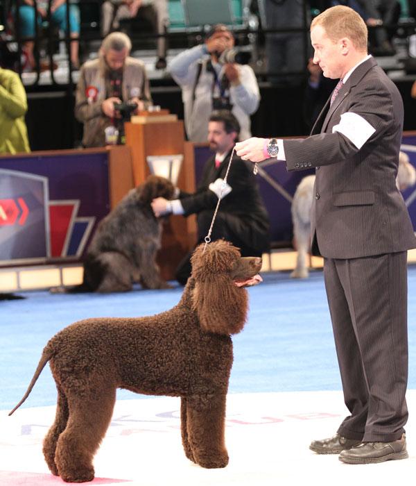 Chesapeake Winner At National Dog Show