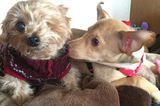 The 12 Dogs of Christmas: Stan the Yorkie, One-Eyed Puppy Mill Survivor