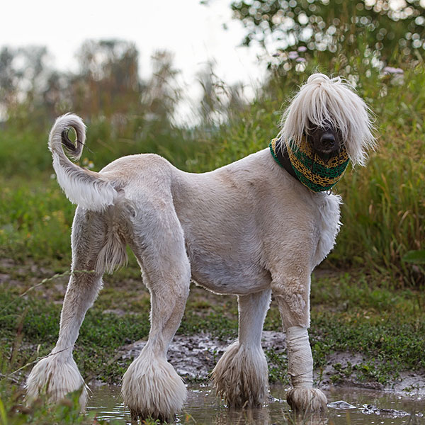 Afgan: Get To Know The Afghan Hound: Exotic And Elegant Hunter