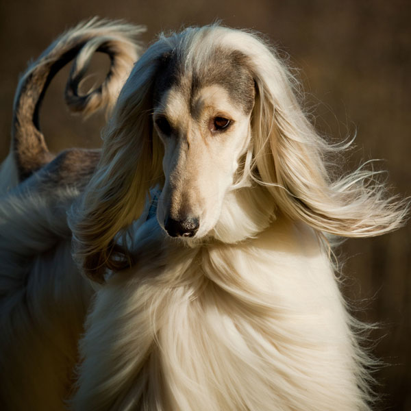Get to Know the Afghan Hound: Exotic and Elegant Hunter