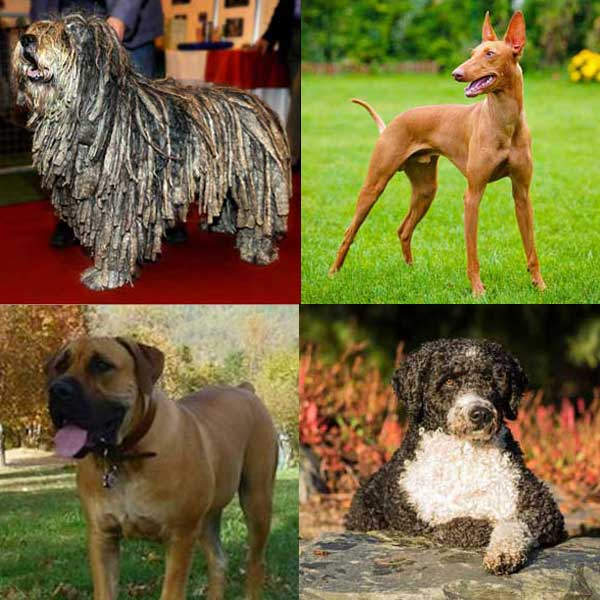 Meet the American Kennel Club's Four Newest Breeds!